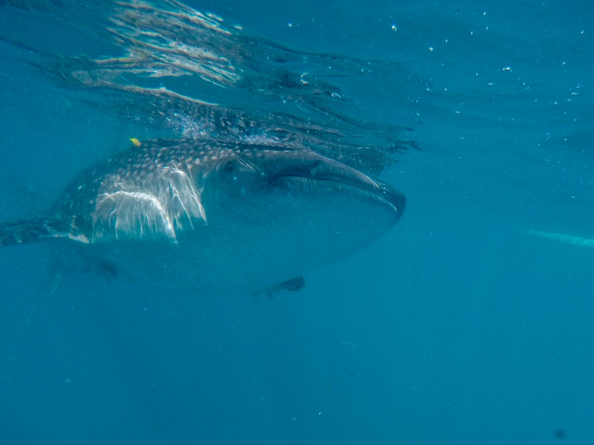 snorkelling, snorkelling with whale sharks, whale sharks oslob, Cebu, Philippines, image by Jade Jackson