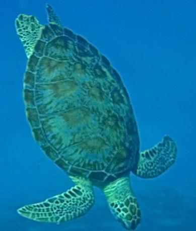 turtle, snorkelling, St Thomas, Caribbean, image. by Jade Jackson