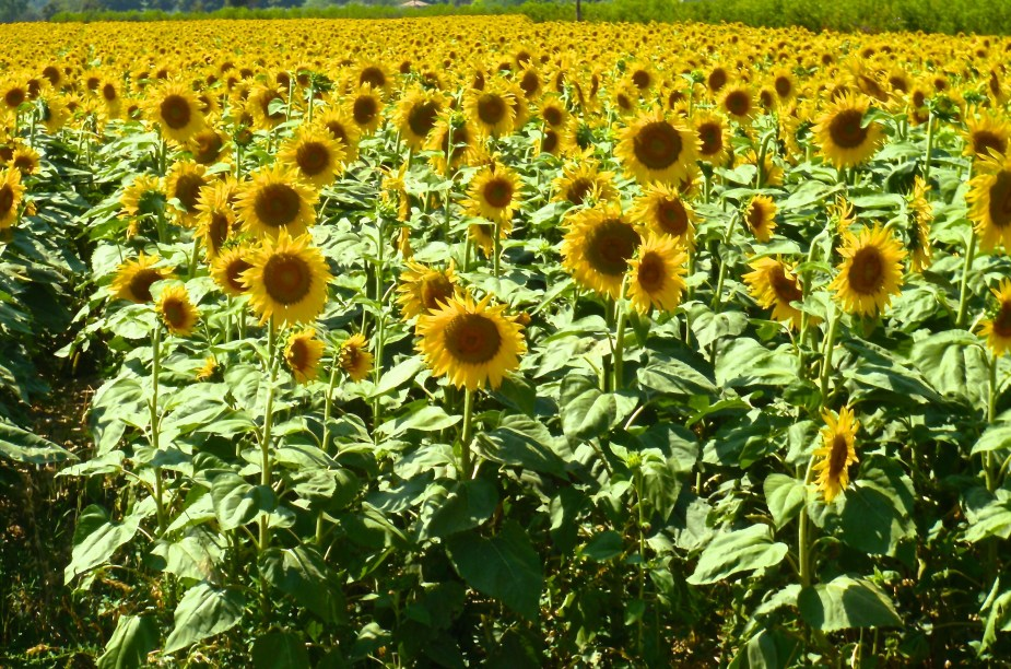 Sunflowers in Italy, near Forli. Image by travel photographer, Jade Jackson.