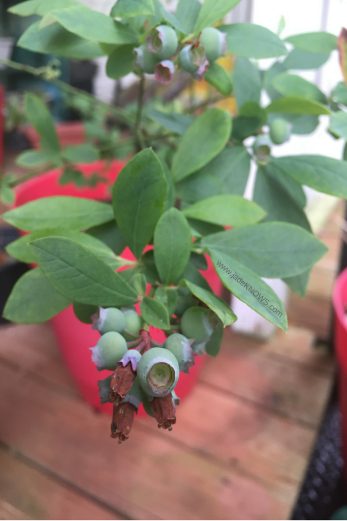 Blueberries in a container garden