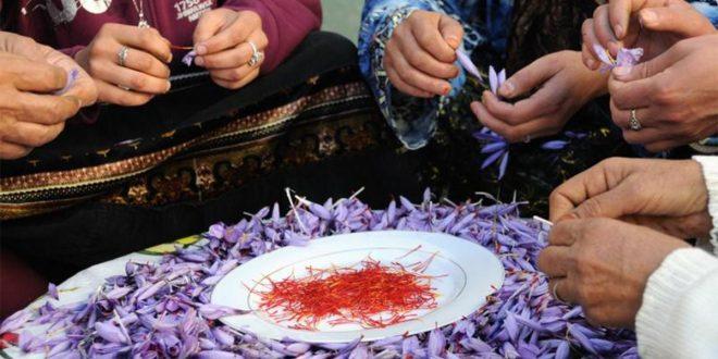 """زراعة الزعفران أو""""الذهب الأحمر""""…بديل اقتصادي وفلاحي ينعش ساكنة إقليم أزيلال"""