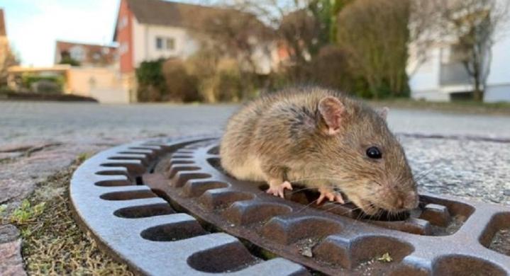 استنفار في ألمانيا لإنقاذ فأر بدين علق في بالوعة