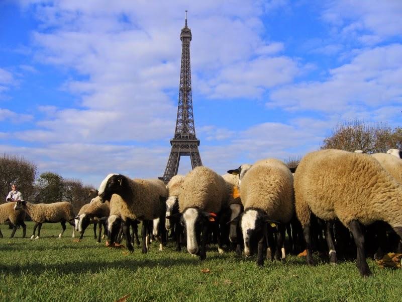مزارع فرنسي يسجل أغنامه كتلاميذ بمدرسة عمومية