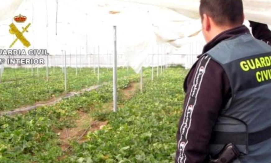 """توقيف مغربي قام بزراعة """"الحشيش"""" داخل ضيعة للبطيخ بإسبانيا.. فيديو"""
