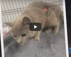 Cat recovering at rescue center after being shot with arrow