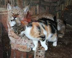 Stray cat breaks into the zoo, in the sweetest manner falls in love with lynx