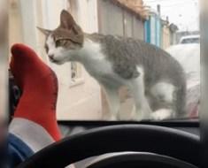 L'homme essaie de faire peur au chat sur le pare-brise – Il va vite le regretter.