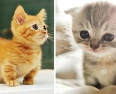 Une race de chat unique, le Munchkin reste bébé toute sa vie!
