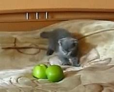 Ce chaton engage un combat contre deux pommes vertes, la vidéo a provoqué des millions de rires