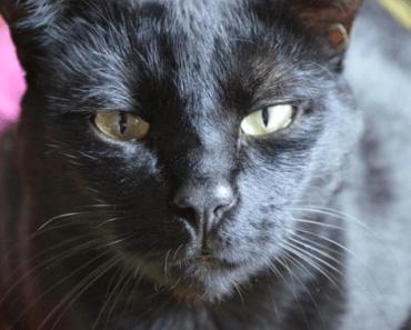 Pourquoi mon chat vomit après chaque repas?