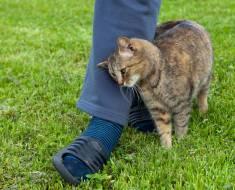 Pourquoi un chat vient il se frotter contre vos jambes pour vous saluer ?