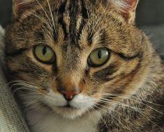 Faut-il vacciner un chat qui ne sort pas ?
