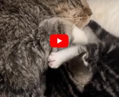 Le chaton sauvé n'arrêtera pas de pleurer jusqu'à ce que le chat de son grand-père la prenne sous son bras