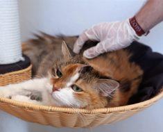 Y a-t-il un risque d'infection pour les chats ?