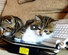 Ces trois chatons découvrent un ordinateur. Et c'est le gros bazar