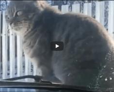 Ce chat va se venger bien comme il faut de ce conducteur qui veut le faire fuir