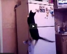 Ce chat veut monter sur le réfrigérateur mais tout ne se passe pas comme prévu !