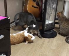 Ces chats ont trouvé un jeu vraiment bizarre mais qui a l'air très drôle