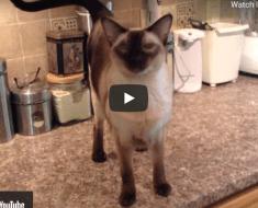 Ce chat siamois est vraiment bavard