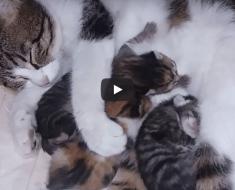 Le chat de maman embrasse les chatons nouveau-nés ayant le cauchemar