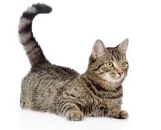 Voici ce que la queue de votre chat essaie de vous dire