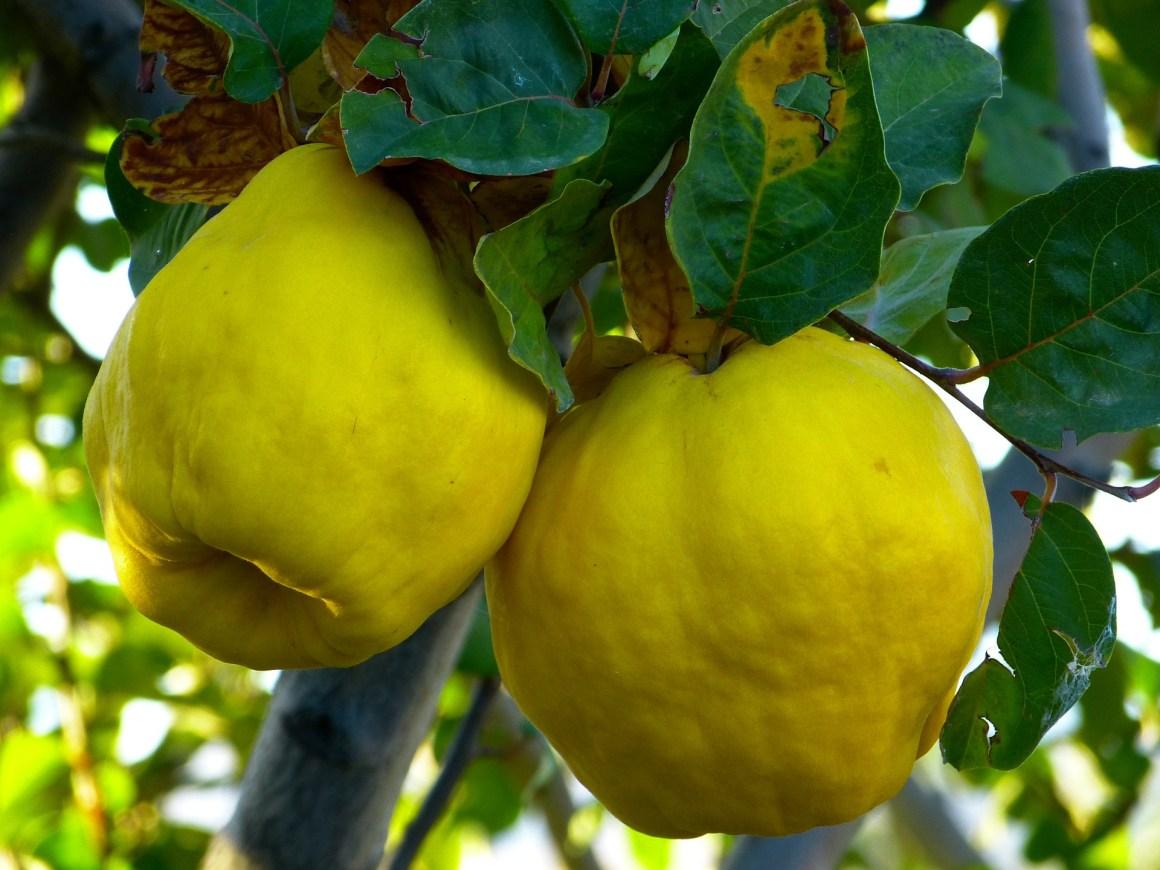 Quince fruit. Photo by pixabay.com.