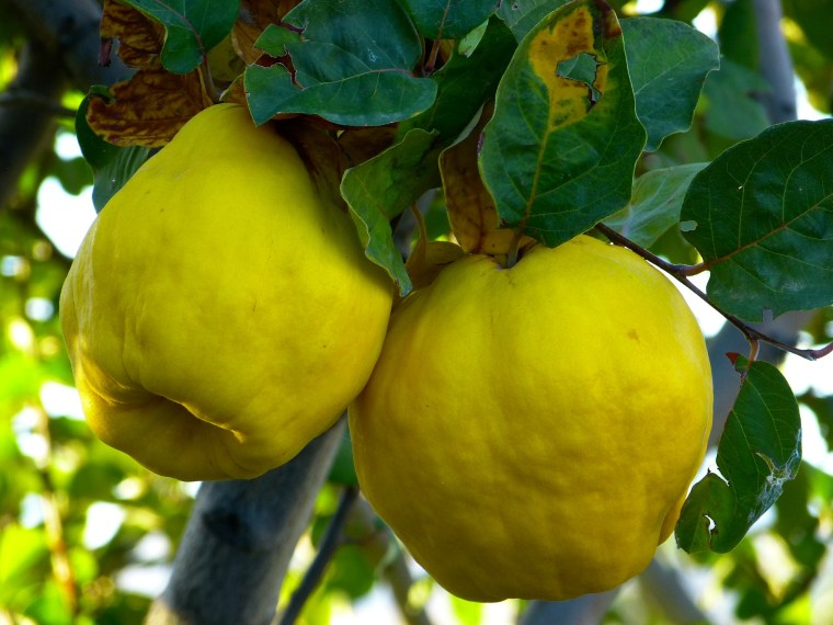 Quince fruit. Photo by pixabay.com.