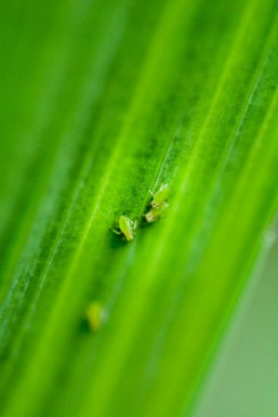 Very tiny bugs on the underside of a leaf.
