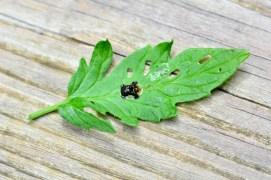 Found it, stuck on a leaf.