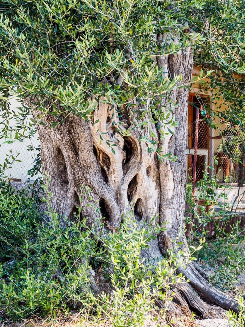Pamiątki z Grecji - Oliwki