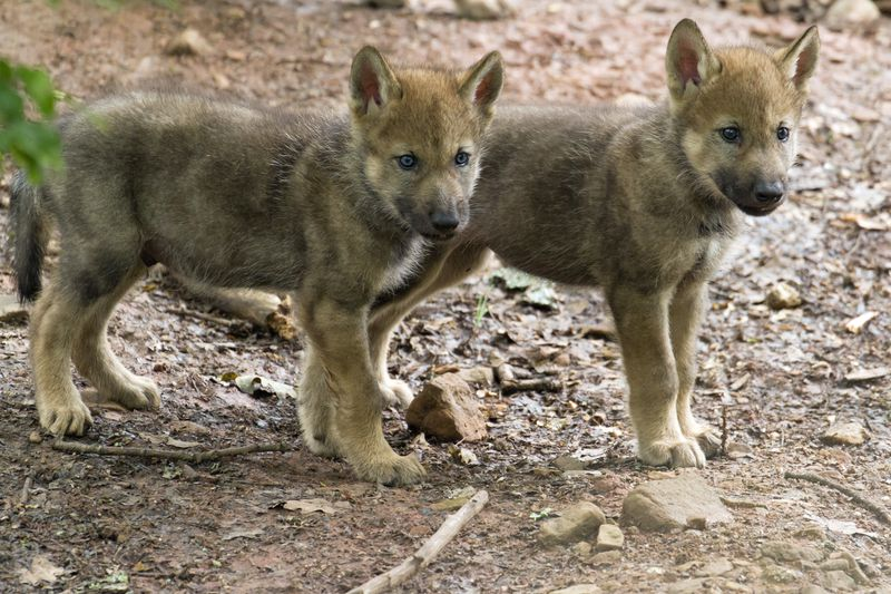 Waldbewohner: Der Wolf