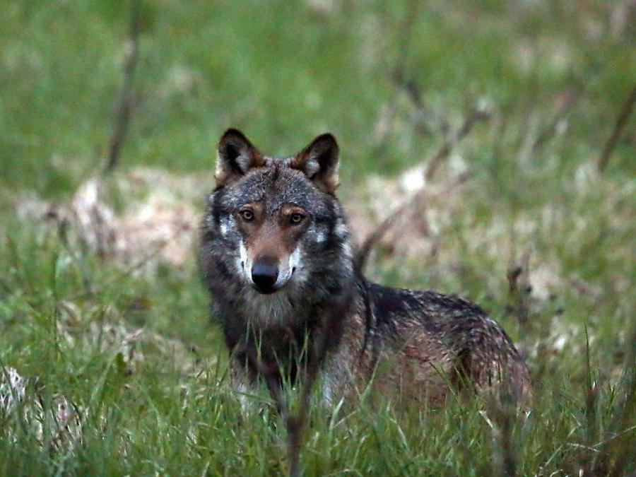 Herdenschutz oder was tun wenn der Wolf kommt...