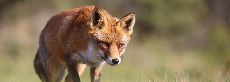 Waldbewohner: Der Fuchs via @treierp