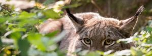 Waldbewohner: Der Luchs