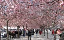Körsbärsträd i Kungsan