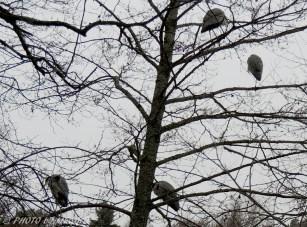 Hägrar i trädet