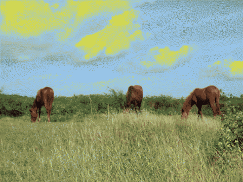 Horses in Vieques