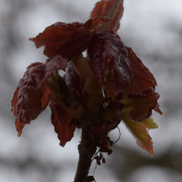 spring-red-maple2