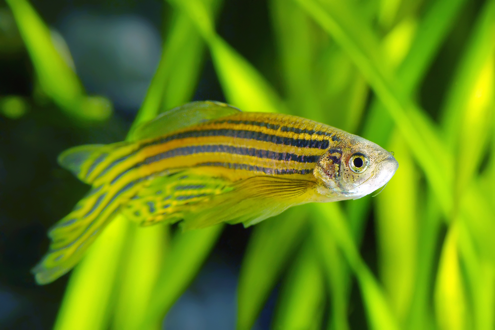 Can zebrafish cure eye diseases jaheed khan for Good freshwater fish