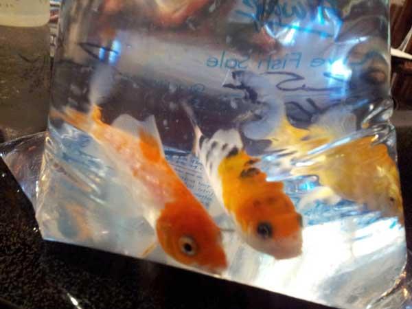 curious koi fish
