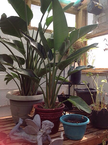 Tropical plants, banana plant and bird of paradise