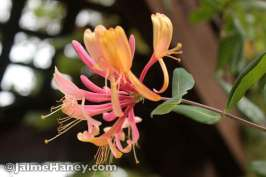 Pink and yellow honeysuckle