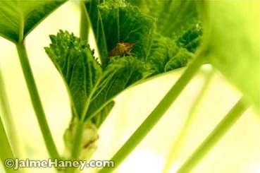 stink bug on leaf