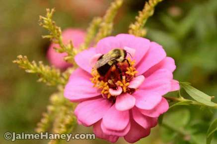 pink zinnia with a bumble bee digging in