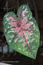 pink and green mottled caladium