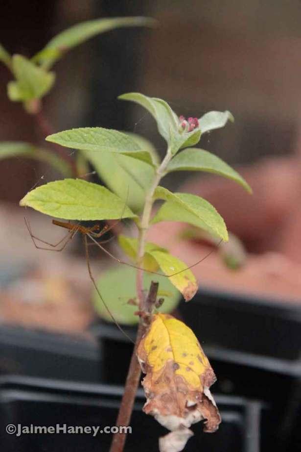 writer spider under butterfly bush leaf