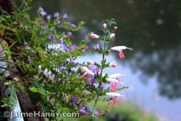 pink salvia & purple Mexican Heather