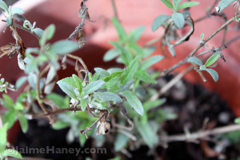butterfly bush in a pot