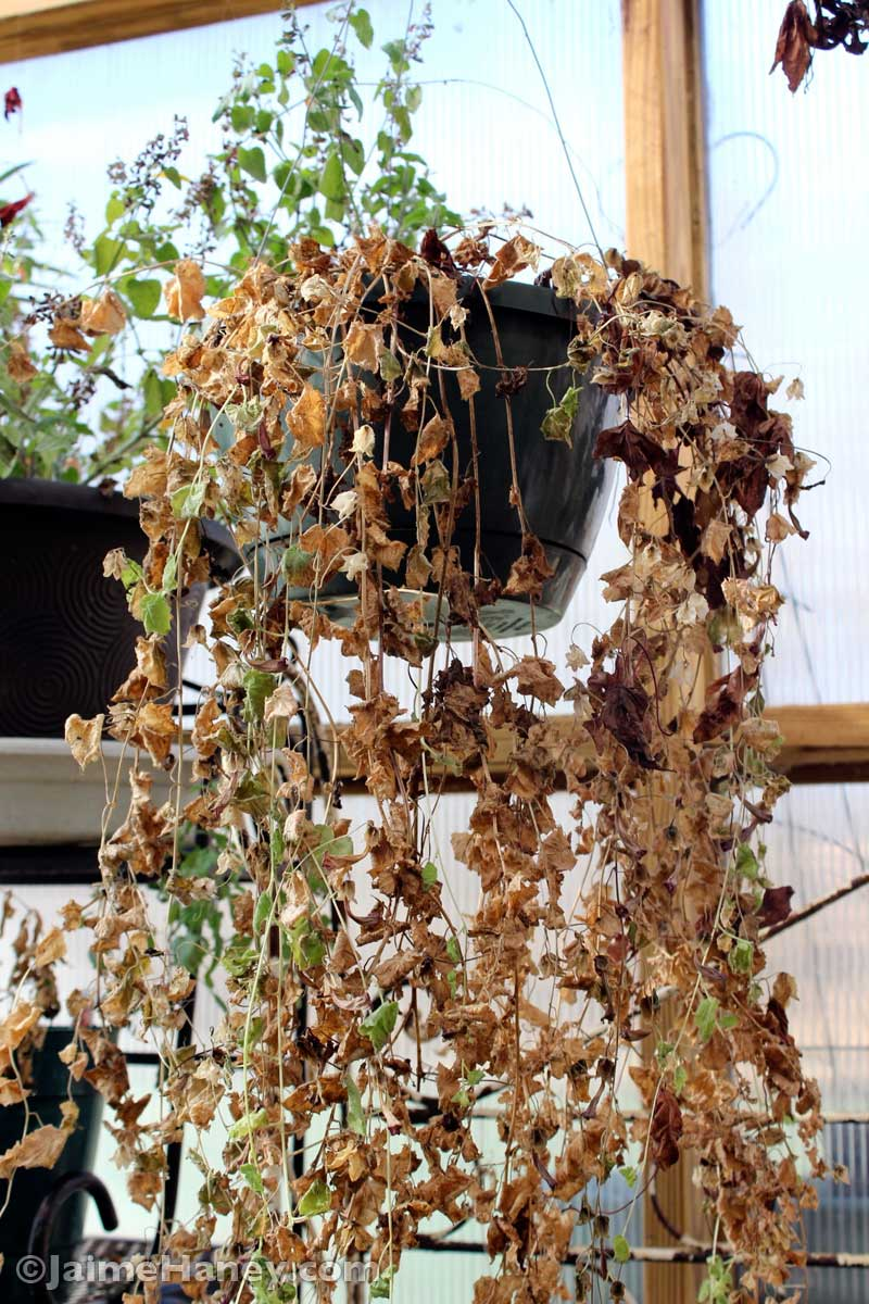 dried up hanging plant