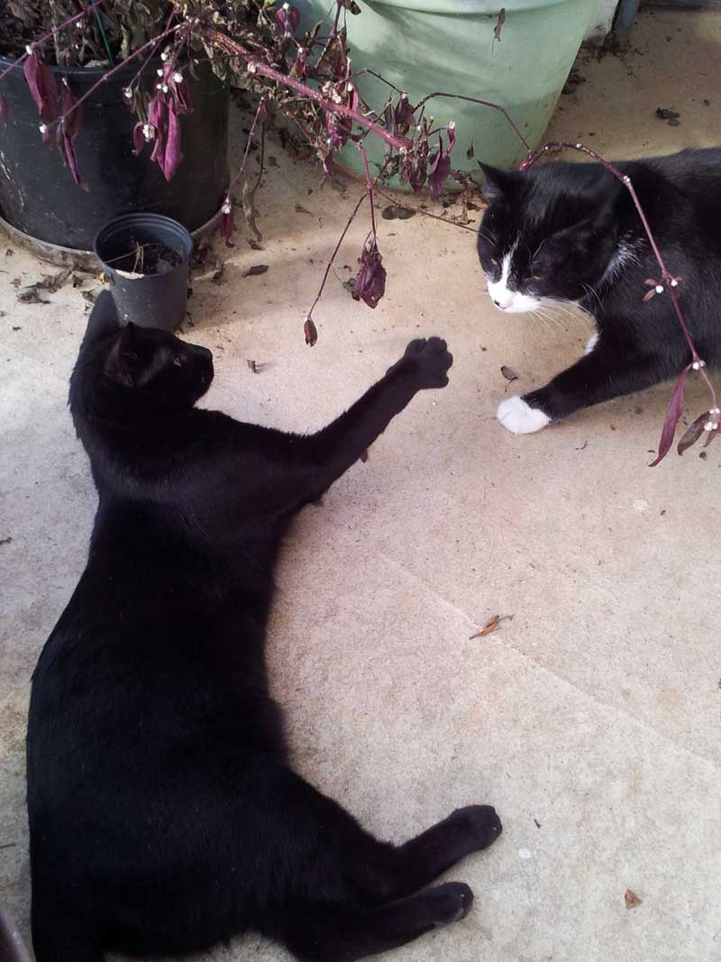 tuxedo cat and black cat playing in greenhouse